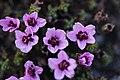 Purple Saxifrage - Saxifraga oppositifolia - panoramio.jpg