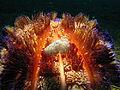 Pygmy Cuttlefish on Fire Seaurchin.jpg