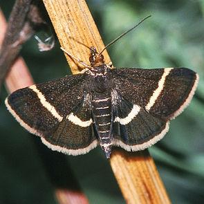 Pyrausta cingulata, ein Exemplar mit fast gerader Vorderflügelquerbinde