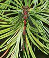 Pyrrhosoma nymphula (Large Red Damselfly) - Flickr - S. Rae (1).jpg