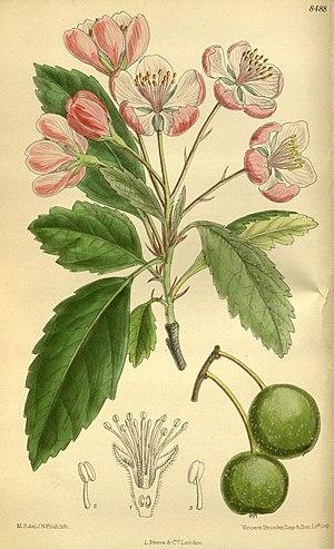 Malus ioensis - Image: Pyrus ioensis 139 8488