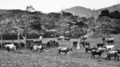 Queensland State Archives 235 Illawarra Dairy Cattle on Mr G Grevetts farm at Kin Kin c 1931.png