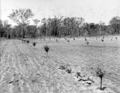 Queensland State Archives 2643 Trees just planted Stanthorpe October 1918.png
