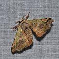 Quentalia sp. (15403992441).jpg
