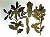 Quercus minima 1