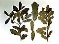 Quercus minima 1.JPG