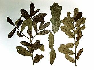 Quercus minima - Quercus minima leaves