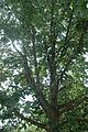 Quercus muehlenbergii (23889698260).jpg