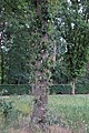 Quercus robur water sprouts (05).jpg