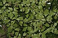 Quercus rubra 33zz.jpg