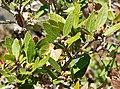 Quercus vaccinifolia 1.jpg