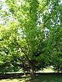 Quercus variabilis JPG1a.JPG
