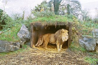 Dublin Zoo - Lion, 2006