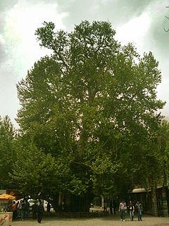 Rahmat tree