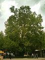 Rahmat tree.jpg