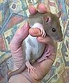 Rat jong.jpg