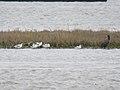Recurvirostra avosetta and Phalacrocorax carbo (27338782548).jpg