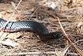 Red-bellied Black Snake (Pseudechis porphyriacus) (8397142773).jpg