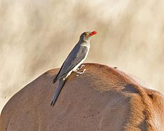 Red-billed Oxpecker (Buphagus erythrorhynchus) - Flickr - Lip Kee.jpg