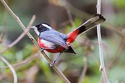 Red-breasted Chat (Granatellus venustus) (8079394776).jpg