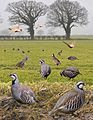 Red-legged Partridge from the Crossley ID Guide Britain and Ireland.jpg
