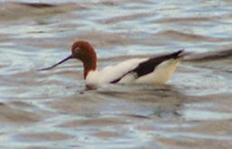 Lake Bindegolly National Park - The lake is an important site for red-necked avocets