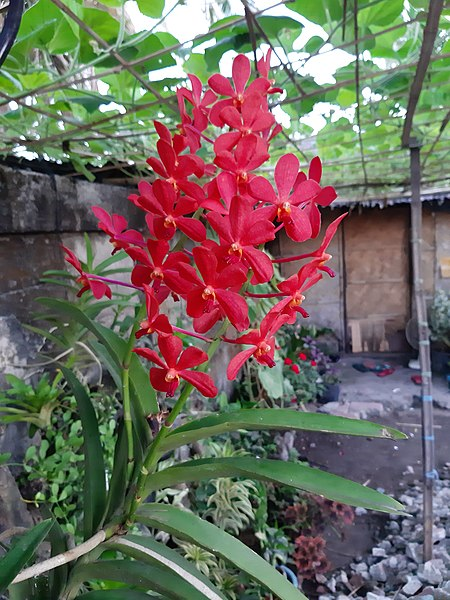 450px-Red_Orchid_Flower_in_Philippines.jpg (450×600)