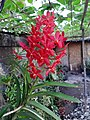 Red Orchid Flower in Philippines.jpg