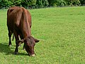 Red Poll cow, Temple Newsam - geograph.org.uk - 179145.jpg
