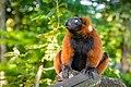 Red Ruffed Lemur (50349726023).jpg