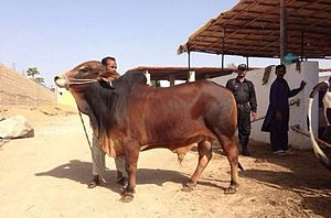 Red Sindhi - Young bull