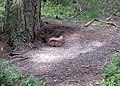 Red Squirrel - geograph.org.uk - 33099.jpg