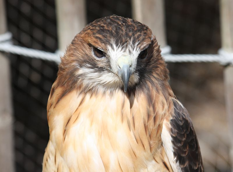http://commons.wikimedia.org/wiki/File:Red_Tailed_Hawk_12.jpg