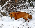 Red fox hunting, scene 1 (6709465663).jpg