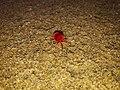 Red velvet bug.jpg