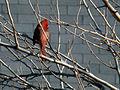 Redbird Northern Cardinal.jpg