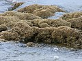 Reef a Sabellaria alveolata.jpg