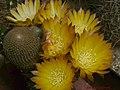 Reicheocactus02W.jpg