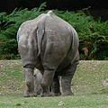 Rhinocéros Thoiry 19805.jpg