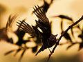 Rhipidura fuliginosa Silhouette.jpg