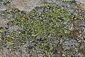 Rhizocarpon sp. (43773567174).jpg