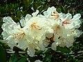 Rhododendron Sochi.jpg