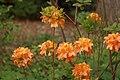 Rhododendron albrechtii Flowers.JPG