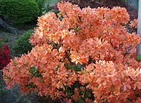 Rhododendron molle