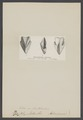 Rhynchoteuthis - Print - Iconographia Zoologica - Special Collections University of Amsterdam - UBAINV0274 005 09 0018.tif