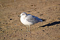 Ring-billed Gull (Larus delawarensis) (15230509405).jpg