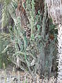 Rishpon, unidentified cactus.JPG