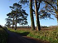 Roadside pines near Bowden - geograph.org.uk - 1240735.jpg