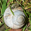 Roman Snail (Helix pomatia) - Oslo, Norway 2020-08-14 (02).jpg