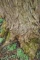 Rombergpark-100330-11366-Pterocarya-fraxinifolia.jpg